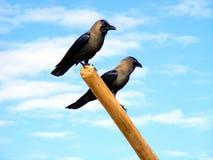 Cuervos de la casa imagen de archivo