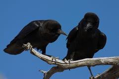 Cuervos del cabo Imagen de archivo libre de regalías