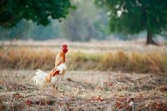 Cuervos del gallo Foto de archivo