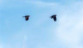 Cuervos del vuelo fotos de archivo