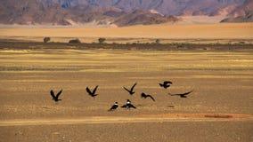 Cuervos en desierto de namib Foto de archivo libre de regalías