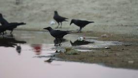 Cuervos en la orilla del río metrajes