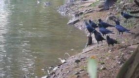Cuervos en la orilla del río Cámara lenta metrajes
