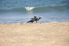 Cuervos en la playa Foto de archivo libre de regalías