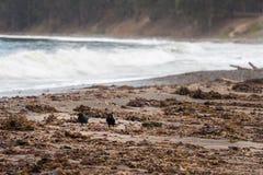 Cuervos en una playa cerca de San Simeon, California, los E.E.U.U. imágenes de archivo libres de regalías