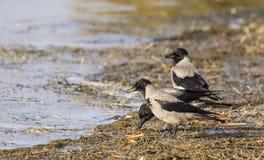 Cuervos encapuchados Foto de archivo libre de regalías