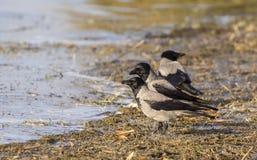 Cuervos encapuchados Foto de archivo