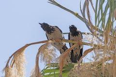Cuervos encapuchados en un árbol Fotografía de archivo libre de regalías
