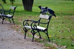 Cuervos grises imagenes de archivo