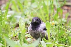 cuervos grises del polluelo divertido que se sientan en la hierba verde Fotos de archivo libres de regalías