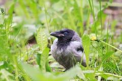 cuervos grises del polluelo divertido que se sientan en la hierba verde Imagen de archivo libre de regalías