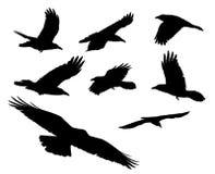 Cuervos negros. Foto de archivo libre de regalías