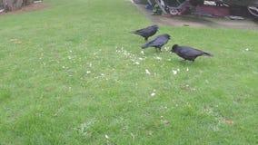 Cuervos que alimentan en los pedazos en un parque de la caravana almacen de metraje de vídeo