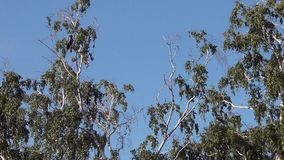 Cuervos que se sientan en las ramas de un abedul almacen de metraje de vídeo