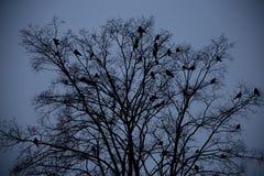 Cuervos que se sientan en un árbol Fotografía de archivo