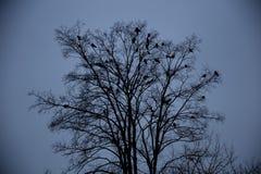 Cuervos que se sientan en un árbol Imagenes de archivo
