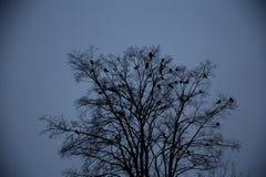 Cuervos que se sientan en un árbol Fotos de archivo libres de regalías