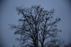 Cuervos que se sientan en un árbol Imágenes de archivo libres de regalías
