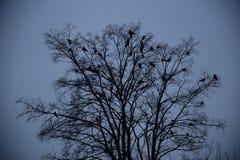 Cuervos que se sientan en un árbol Fotos de archivo
