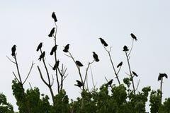 Cuervos que sientan 1 Imagen de archivo