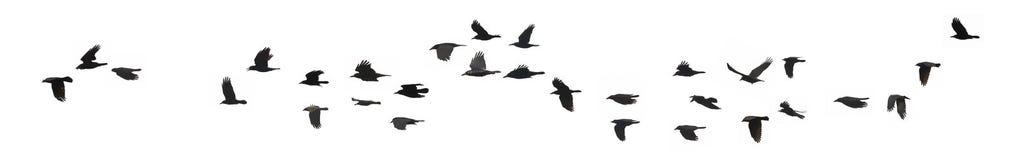 Cuervos y grajos Imágenes de archivo libres de regalías