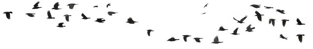 Cuervos y grajos Imagenes de archivo