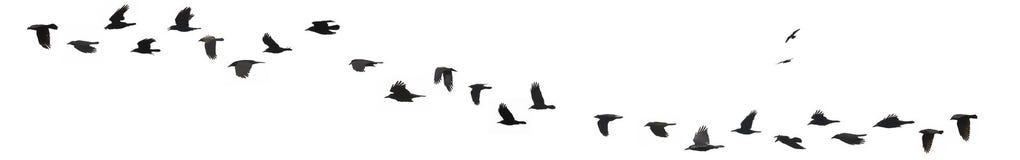 Cuervos y grajos Imagen de archivo