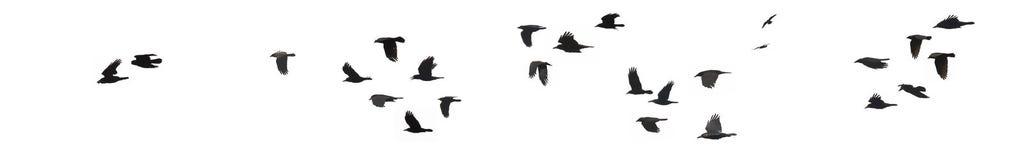 Cuervos y grajos Fotos de archivo