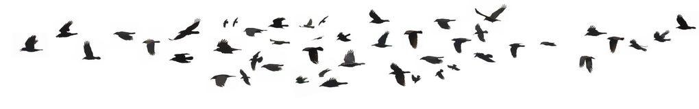 Cuervos y grajos Foto de archivo