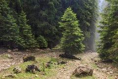 Cuesta de montaña boscosa con las coníferas imperecederas en niebla imágenes de archivo libres de regalías