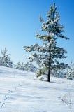 Cuesta nevada con las pistas del pino y de las liebres de la cadena Fotografía de archivo libre de regalías