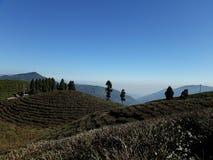Cuestas de prodigalidad de la hoja de té con los árboles alpinos fewly distribuidos hermosos foto de archivo