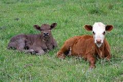 Cugini del vitello Immagini Stock