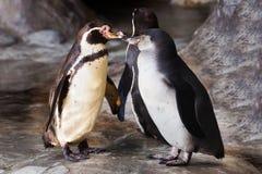 Cuidado - bicos do interesse Um par de pinguins bonitos o pinguim de Humboldt está enfrentando-se, o relacionamento do pássaro é  foto de stock royalty free