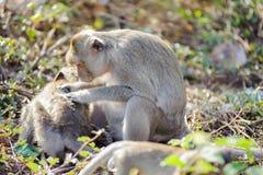 Cuidado da mãe do macaco para suas crianças 2 imagens de stock