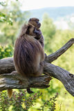Cuidado de dos monos para el pelo Imagenes de archivo