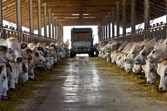 Cuidado de la vaca Fotos de archivo