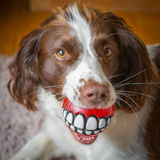 Cuidado dental del perro de la diversión Imagen de archivo libre de regalías