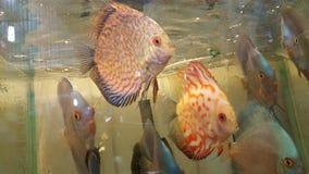 Cuidado dos peixes do aquário do disco bonito Imagem de Stock Royalty Free
