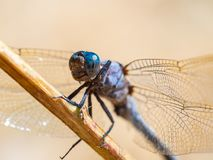 Dragonfly Orthetrum coerulescens warming up in the sun on a cool summer morning in the forest. royalty free stock photo