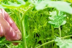 Cuidado para la planta de tomate Imagenes de archivo