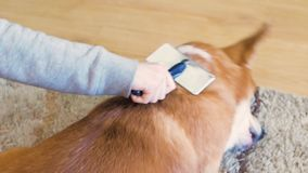Cuidado para o cabelo de cão video estoque
