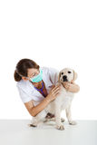 Cuidado que toma veterinario de un perro Imagen de archivo libre de regalías