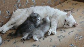 Cuidados brancos do gato da mãe e alimentação seus bebês de gatinhos, fim acima filme