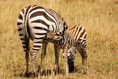 Cuidados da zebra do bebê Imagens de Stock Royalty Free