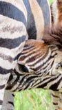 Cuidados da zebra do bebê Fotos de Stock