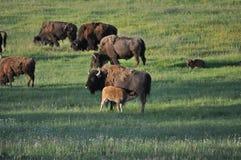 Cuidados do búfalo do bisonte americano do bebê Imagens de Stock Royalty Free