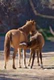 Cuidados do potro do cavalo selvagem Fotos de Stock Royalty Free