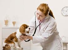 Cuidados fêmeas do veterinário para o cão Foto de Stock