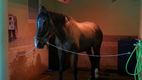 Cuidados médicos do cavalo em estável, no lavagem, na limpeza e no solário video estoque